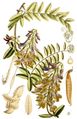 Vicia dennesiana - Curtis's Botanical Magazine, t. 6967.png