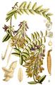 Vicia dennesiana - Curtis's Botanical Magazine, t. 6967.png
