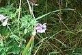 Vicia sepium (8016817072).jpg