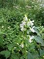 Vicia sylvatica sl37.jpg