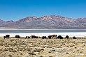 Vicuñas (Vicugna vicugna), Laguna de Salinas, Arequipa, Perú, 2015-08-02, DD 39.JPG