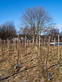 Vines in Cateaux Luna vineyard 3.jpg