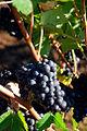Vineyard Grapes (Yamhill County, Oregon scenic images) (yamDA0050).jpg