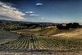 Vineyard in Chianti.jpg