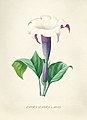 Vintage Flower illustration by Pierre-Joseph Redouté, digitally enhanced by rawpixel 13.jpg