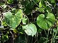 Viola odorata sl20.jpg