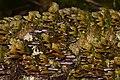 Violet-toothed Polypore (Trichaptum biforme) - Algonquin Provincial Park 2019-09-24 (01).jpg