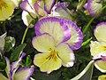 Violette (Viola).jpg