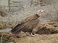 Vulture in Tanzania 3088 Nevit.jpg