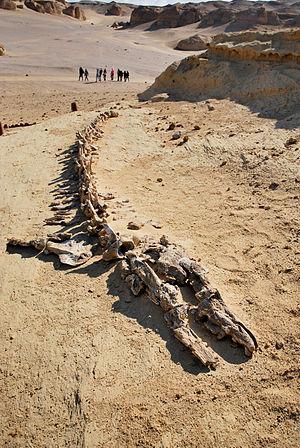 Wadi El Hitan - skeletons of whales were discovered