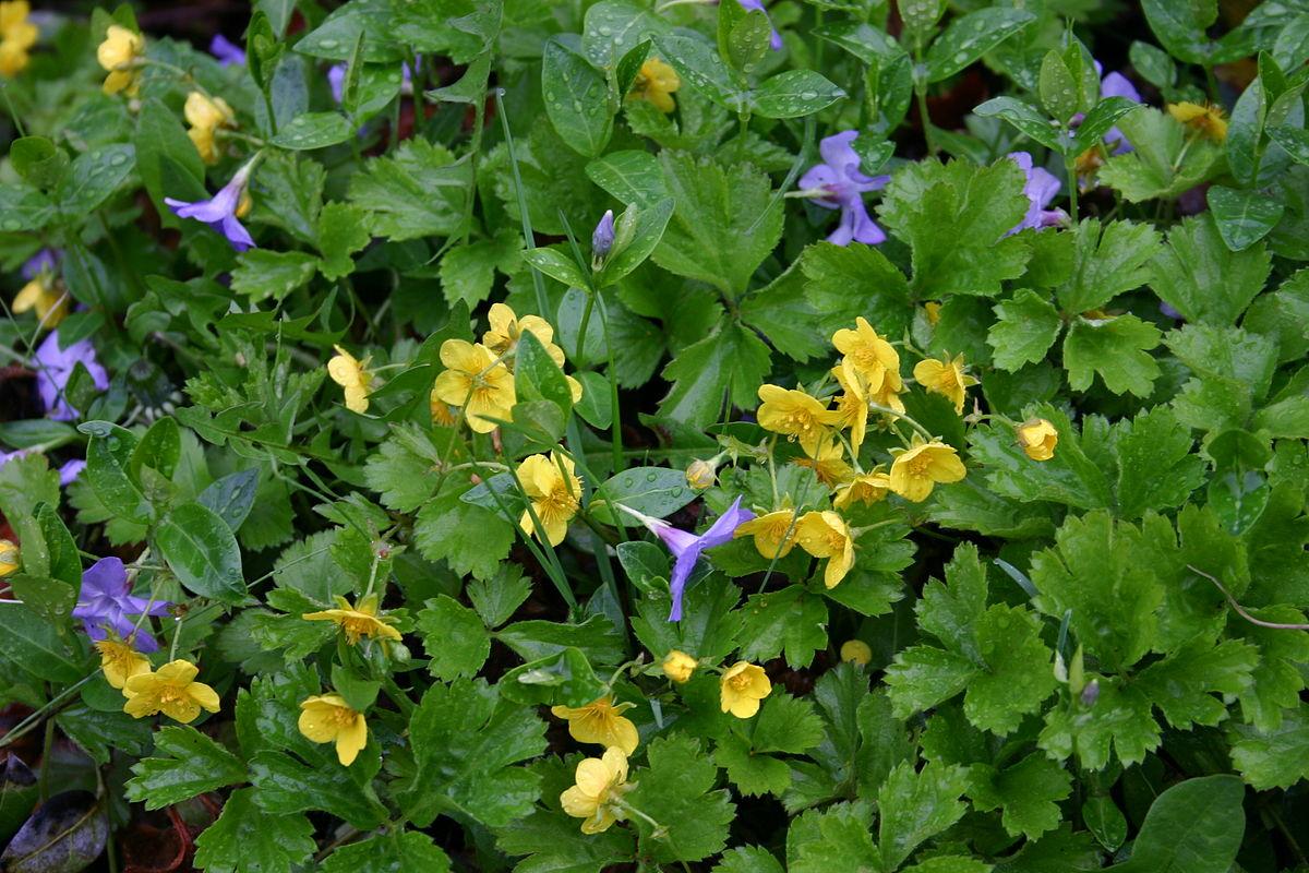 Waldsteinia Fragarioides Wikipedia