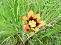 Wandflower (Sparaxis tricolor) (429835354).jpg