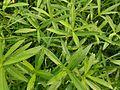 Water Cress Weed (সানচি).jpg