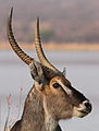 Waterbuck, Kobus ellipsiprymnus at Borakalalo National Park, South Africa (9868841633).jpg