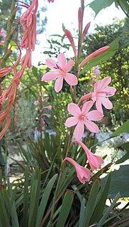Watsonieae tribe of plants