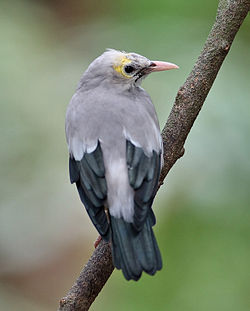 Wattled Starling non breeder.jpg