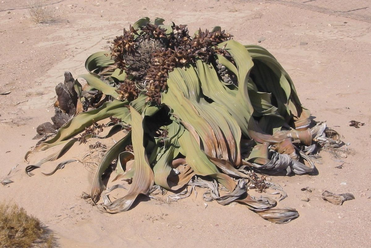 Welwitschia mirabilis : Une des plantes les plus résistantes du monde