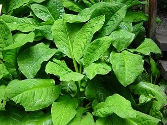 Lysichiton americanus - Foliage of L. americanus