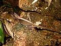 Western Ghats Kangaroo Lizard.jpg