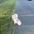 Westiepoo Hybridhund uriniert im Vorderpfotenstand.jpg