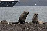 Whalers Bay Deception Island Antarctica Fur Seal Silversea Silver Cloud 4 (47284682482).jpg