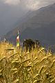 Wheat, Gandruk (4525917982).jpg