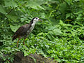 White-breasted Waterhen 1801.jpg