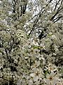 White-flowers-spring-pear-tree - West Virginia - ForestWander.jpg