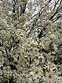 White-flowers-spring-pear-tree - West Virginia - ForestWander.jpg