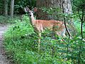 White-tailed Deer - Flickr - treegrow.jpg