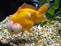 WhiteFaced Oranda profile.jpg