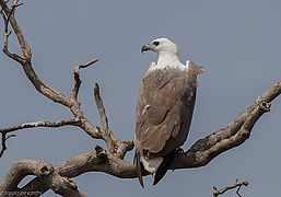 White bellied Sea Eagle (2).jpg