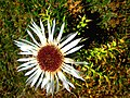 White flower with thorn, Бел цвет со трн.JPG