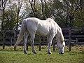 White horse (5615313853).jpg