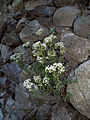 White stonecrop (Sedum album) (5963120936).jpg