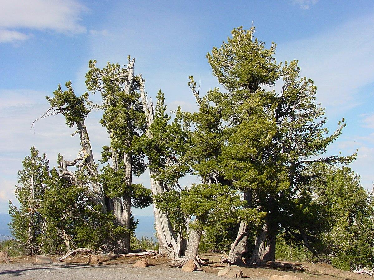 pinus albicaulis wikipedia