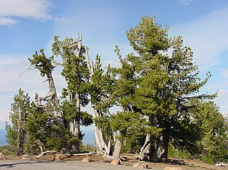 Pinus albicaulis - A stand of whitebark pines at Crater Lake National Park, Oregon