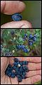 Wild Alaska blueberries.jpg