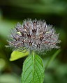 Wild Basil (Clinopodium vulgare) - MacGregor Point Provincial Park 02.jpg
