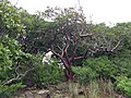 Wild Gumbo Limbos tangled - panoramio.jpg
