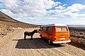 Wild donkey in Cofete on Fuerteventura, Canary Islands.jpg