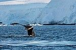 Wilhelmina Bay Antarctica Humpback Whale 2 (47336664351).jpg