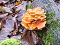 Winter fungus - geograph.org.uk - 1119104.jpg