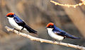 Wire-Tailed Swallow.jpg