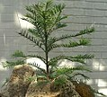 Wollemia nobilis 0zz.jpg