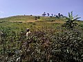Woman in a cassava farm in DRC.jpg