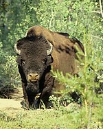 Frontal view of a buffalo.