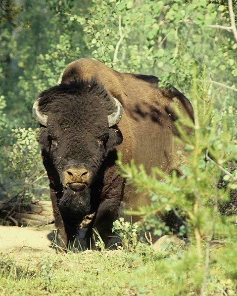 File:Wood-Buffalo-NP Waldbison 98-07-02.jpg