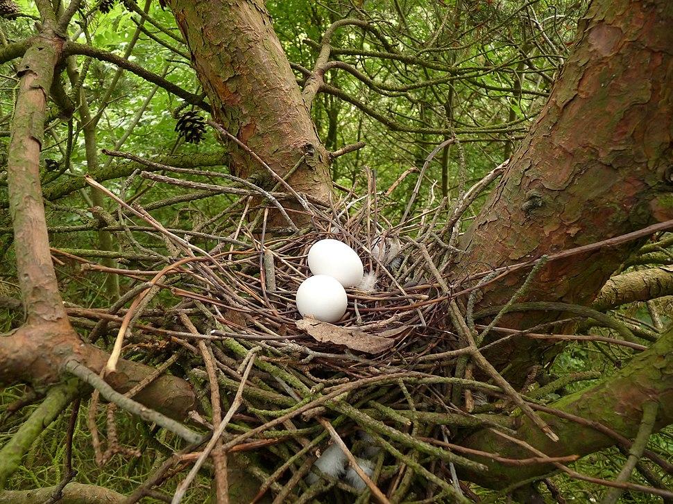Wood Pigeon Nest 02-07-10 (4755795044)