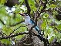 Woodland Kingfisher (Halcyon senegalensis) (11754802823).jpg